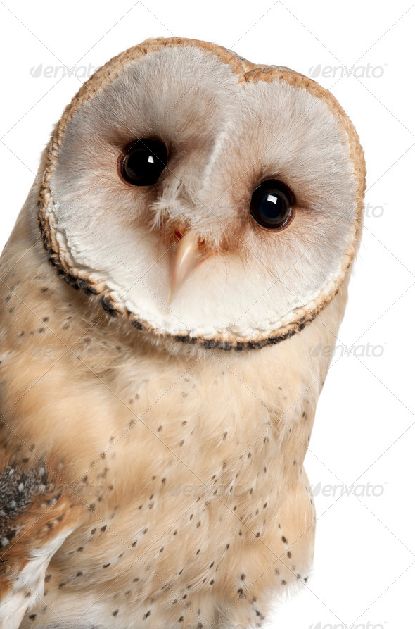 Barn Owl, Tyto alba, 4 months old, portrait and close up against white background - Stock Photo - Images