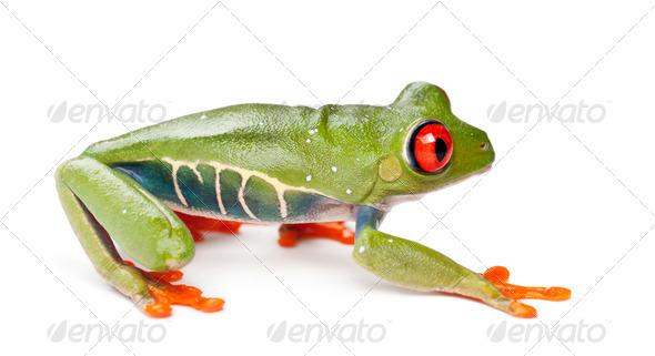 Red-eyed Treefrog, Agalychnis callidryas, against white background - Stock Photo - Images