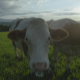 Cows In A Meadow - VideoHive Item for Sale