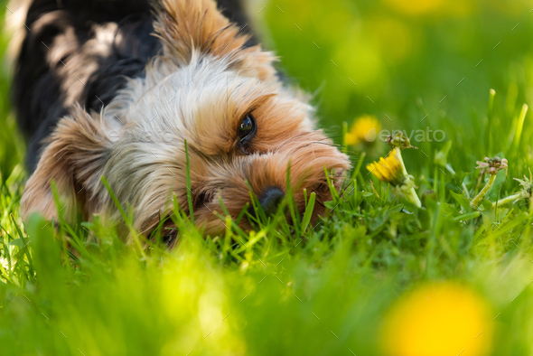 Cute Yorkshire Terrier dog and beagle dog chese each other in backyard. - Stock Photo - Images