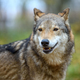 Close up portrait wolf in autumn forest background - PhotoDune Item for Sale