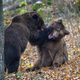 Two bears playing or fighting in the autumn forest. Danger animal in nature habitat. Big mammal - PhotoDune Item for Sale