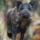 Portrait male Wild-boar in autumn forest - PhotoDune Item for Sale