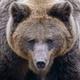 Close-up brown bear portrait. Danger animal in nature habitat. Big mammal - PhotoDune Item for Sale