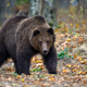 Close-up brown bear in autumn forest. Danger animal in nature habitat. Big mammal - PhotoDune Item for Sale