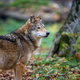 Close up wolf in autumn forest background - PhotoDune Item for Sale