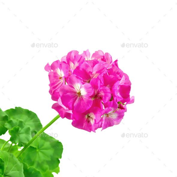 Geranium pink with leaves - Stock Photo - Images