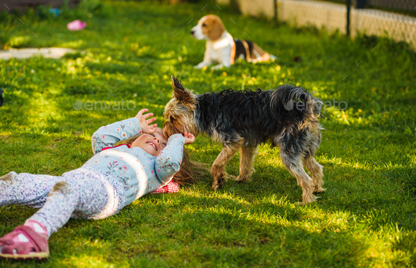 Child with a yorkshire dog ona green grass in backyard having fun - Stock Photo - Images