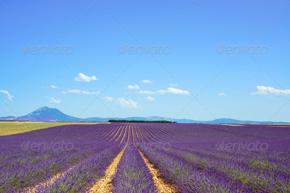 Lavender flower blooming fields and trees row. Valensole Provence, France. - Stock Photo - Images