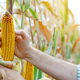 Peeled dry maize corn cobs on corn stalks in farmer's hand - PhotoDune Item for Sale