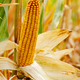 Dry corn cob on stalks authentic view on corn field autumn time - PhotoDune Item for Sale