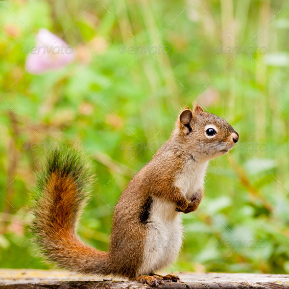 Curious cute American Red Squirrel posing watchful - Stock Photo - Images