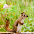 Curious cute American Red Squirrel posing watchful - PhotoDune Item for Sale