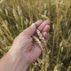 Farmer In Field Touching His Wheat Ears. - PhotoDune Item for Sale