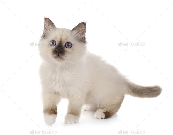 birman kitten in studio - Stock Photo - Images