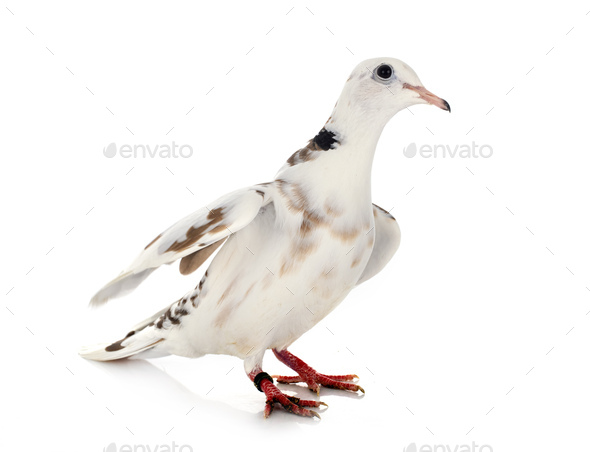 African collared dove - Stock Photo - Images