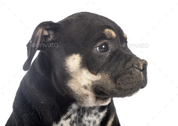 puppy american bully in studio - Stock Photo - Images