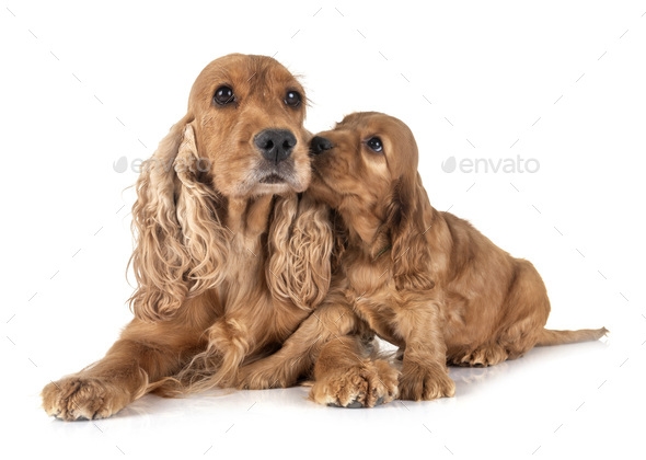 puppy and mother cocker spaniel - Stock Photo - Images