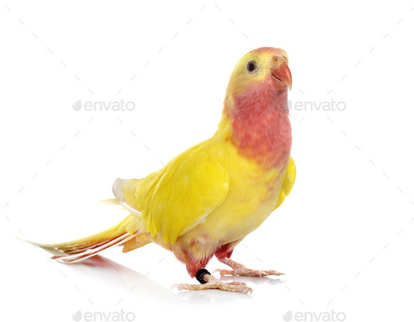 Princess parrot in studio - Stock Photo - Images