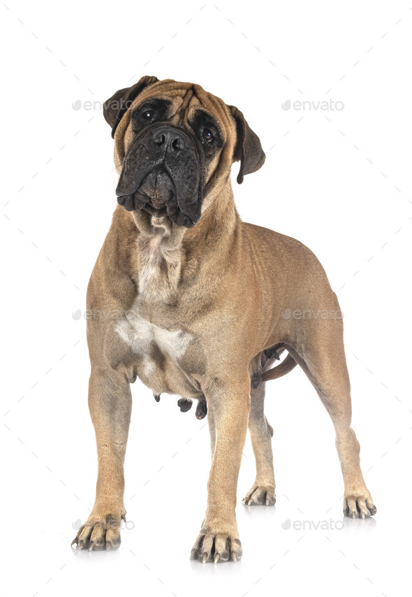 puppy bullmastiff in studio - Stock Photo - Images