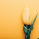 Yellow Classic Tulip on yellow background - PhotoDune Item for Sale