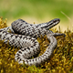 Dangerous common viper basking twisted on green moss in summer nature - PhotoDune Item for Sale