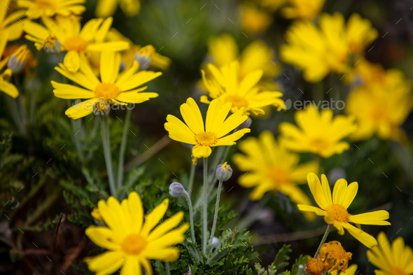 Daisies wild flowers yellow color field, background - Stock Photo - Images
