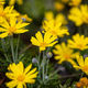 Daisies wild flowers yellow color field, background - PhotoDune Item for Sale