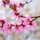 Pink peach blossoms - PhotoDune Item for Sale