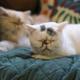 Two persian cat sleeping - PhotoDune Item for Sale