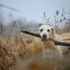 Dog walking in reeds against autumn landscape in fog - PhotoDune Item for Sale