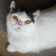 White Cat with Yellow Eyes - PhotoDune Item for Sale