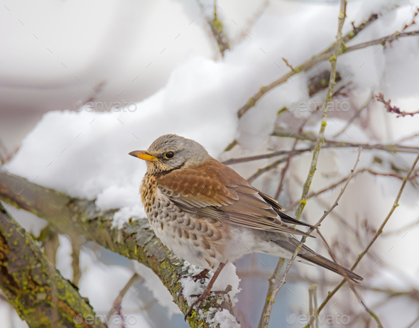 Mistle thrush bird sitting on a snow covered tree - Stock Photo - Images