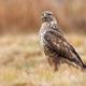 Fierce common buzzard sitting the ground in autumn nature - PhotoDune Item for Sale