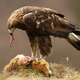 Golden eagle standing on a dead fox and feeding with its flash in autumn nature - PhotoDune Item for Sale