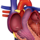 Human Heart Anatomy - GraphicRiver Item for Sale