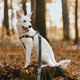 Adorable white dog sitting on stump among autumn leaves in sunny woods. Cute swiss shepherd puppy - PhotoDune Item for Sale