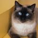 Blue Eyes Biman Cat - PhotoDune Item for Sale