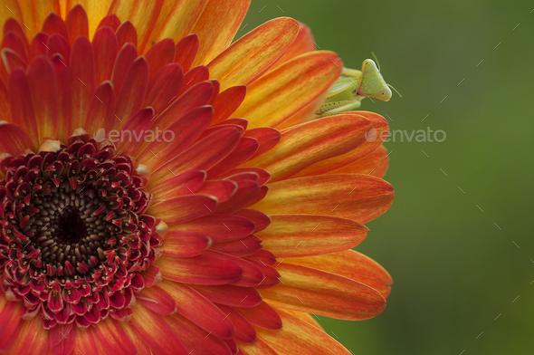 Praying Mantis or Mantis Religiosa on Orange Chrysanthemum - Stock Photo - Images