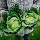 Savoy cabbage - PhotoDune Item for Sale