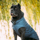 Black Cane Corso Dog Sitting In Grass. Dog Wears In Warm Clothes. Big Dog Breeds - PhotoDune Item for Sale