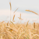 Young Wheat Field. Summer Agricultural Field Close Up - PhotoDune Item for Sale