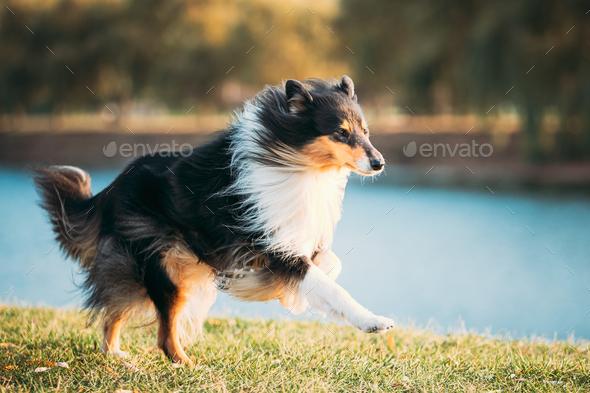 Rough Collie, Funny Scottish Collie, Long-haired Collie, English Collie, Lassie Dog Running Outdoors - Stock Photo - Images