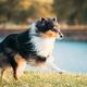 Rough Collie, Funny Scottish Collie, Long-haired Collie, English Collie, Lassie Dog Running Outdoors - PhotoDune Item for Sale