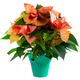 Isolated salmon poinsettia flower - PhotoDune Item for Sale