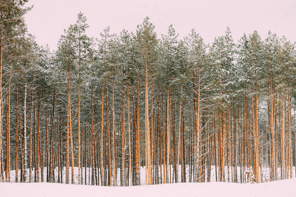 Winter Snowy Coniferous Forest Landscape Background - Stock Photo - Images