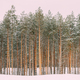 Winter Snowy Coniferous Forest Landscape Background - PhotoDune Item for Sale