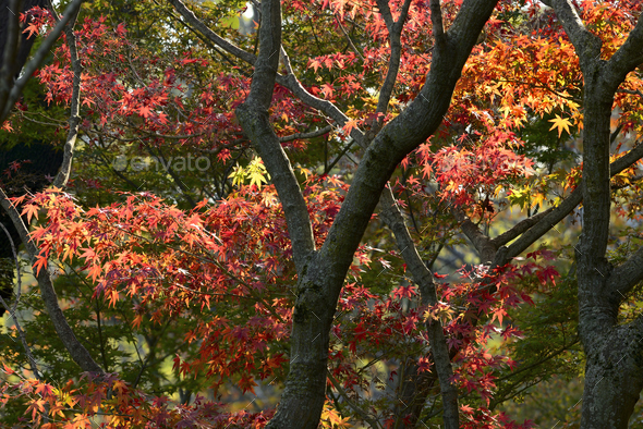 Japanese Maple tree red, orange, brown and yellow leaves in Autumn foliage display. - Stock Photo - Images