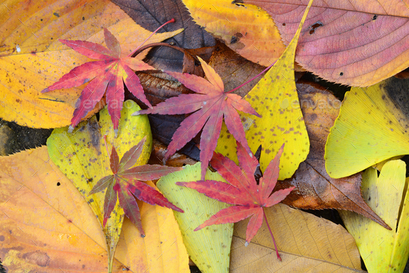 Fallen leaves of red Japanese Maple and yellow ginko leaves in Autumn foliage. - Stock Photo - Images