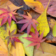 Fallen leaves of red Japanese Maple and yellow ginko leaves in Autumn foliage. - PhotoDune Item for Sale